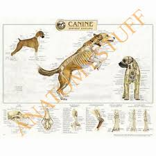 Dog Anatomy Heart Anatomy Models Anatomical Charts Online Uk Online Shop