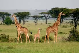 we thought there was one giraffe species u2014but there are four