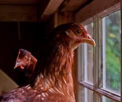 newcastle disease signs symptoms u0026 treatments chicken heaven on