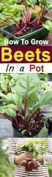 How To Grow A Vegetable Garden In Pots Growing Beets In Containers Home Design Www Kylebalda Com