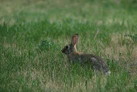 Maryland wildlife images House rabbit society md dc nova wildlife questions jpg