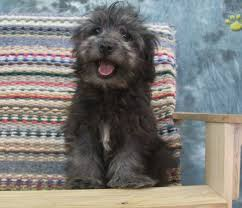 affenpinscher adults for sale puppy havapoo for sale img5552 sunny day puppiessunny day puppies