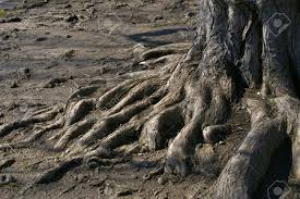 base of tree with roots exposed on like ground stock