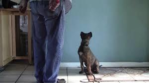 training a belgian sheepdog clicker training a 13 week old dutch shepherd x belgian malinois
