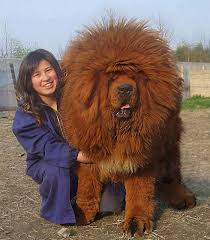 lion dogs tibetan mastiff omg i want one tibetan