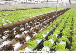 horizontal photo environmentally friendly hydroponic greenhouse
