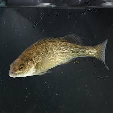 what fish to grow woodvale fish u0026 lily farm perth