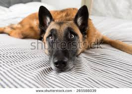 belgian shepherd silhouette belgian shepherd stock images royalty free images u0026 vectors