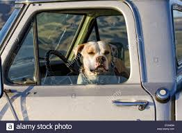 american pitbull terrier jumping pit bull stock photos u0026 pit bull stock images alamy