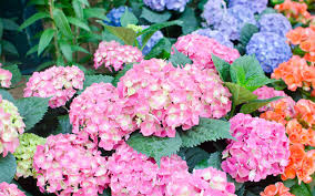 hydrangea flowers how to change the color of hydrangea flowers garden club
