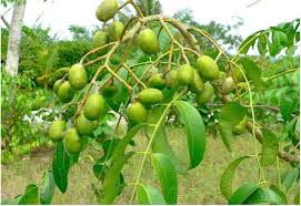 Tropical Fruit Tree Nursery - nursery plants tropical fruit tree varieties garden fruit tree