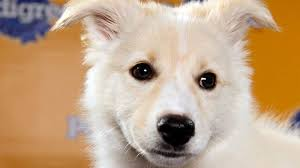 american eskimo dog calgary puppy bowl 2017 live stream time tv schedule lineups and how