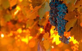 vineyard grapes leaves autumn nature wallpaper 2560x1600 32383