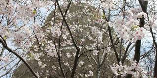 northern california cherry blossom festival visit california