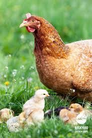 Best Backyard Chicken Breeds by 35 Best Baby Chickens Images On Pinterest Baby Chickens Hens