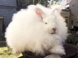 selling angora fiber from backyard rabbits u2014 practical self reliance