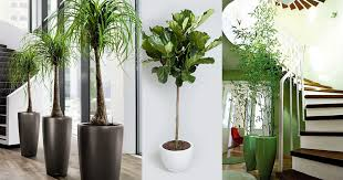 plants for office 18 best large indoor plants tall houseplants for home and