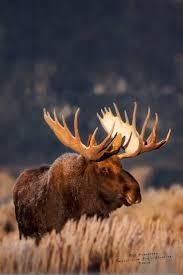best 25 moose ideas on pinterest deer cute bears and moose hunting