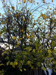 diagnosis how should a lemon tree with yellowing leaves peeling