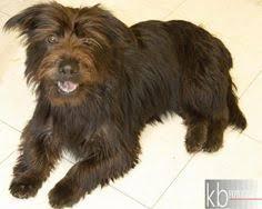 affenpinscher rescue seattle brownsville tx border terrier silky terrier mix meet sarah a