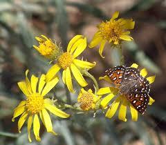 northern california native plants senecio douglasii butterweed
