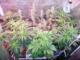 northern lights yield indoor photos northern light autoflower growing medical marijuana