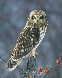 short eared owl audubon field guide