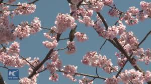 sakura season cherry blossoms blanket tokyo youtube