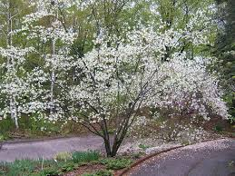 mn native plants amelanchier laevis multistem landscape plants pinterest