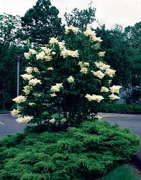 tree with white flowers japanese tree lilac minnesota gardener magazine hot plants