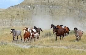 North Dakota wildlife images Capture dakota photo contest dancing with wild horses gallery jpg
