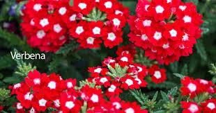 verbena plant care how to grow the verbena flower
