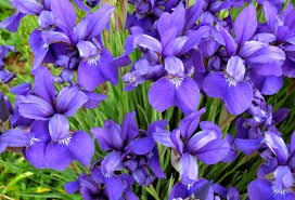 iris flowers revealed the meaning of iris flowers
