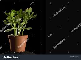 small green tree money tree crassula stock photo 47386447