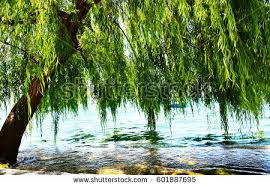 willow tree by water stock photo 601887695