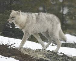 great plains wolf wikipedia