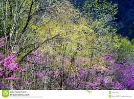 redbud tree blooms and new growth in the smokies stock photo