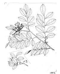 murraya paniculata wikipedia