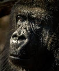 Gorilla by Topeka Zoo U0027s Gorilla Tiffany Dies Sunday Following Cancer