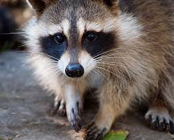 Raccoons In Backyard Raccoons And Dogs A Very Real Threat