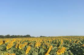 100 grinter farms 100 grinter farms sunflower art