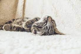 Remove Cat Urine From Sofa How To Get Cat Out Of Clothes Towels And Carpet Dengarden