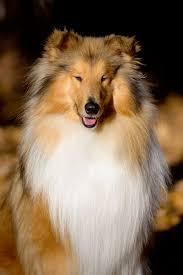 bearded collie mdr1 collie online etalons stud dogs deckrüde amalie lynmead