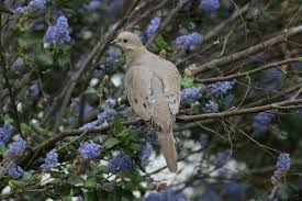Dove Migration Map Mourning Dove Audubon Field Guide