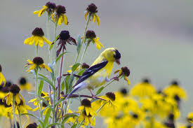 how to harvest sunflower seeds for birds