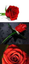 get 20 single red rose ideas on pinterest without signing up