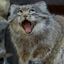 Gato Meme - el gato de pallas un meme andante