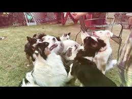 australian shepherd yoga video australian shepherd dog care video funnydog tv