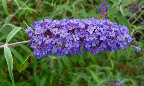 fiori viola nomi di fiori viola significato fiori nomi di fiori viola