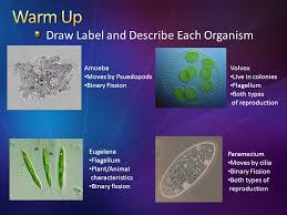draw label and describe each organism amoeba moves by psuedopods